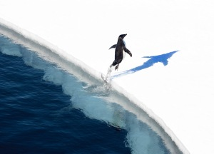 Adelie penguin copyright John Weller